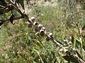 Melaleuca flavovirens fruit.jpg