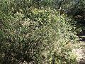 Melaleuca subulata habit.jpg