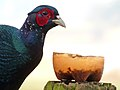 Melanistic Mutant Ringneck Cross Pheasant (Also know as Black pheasant) (6702844757).jpg