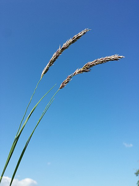 File:Melica transsilvanica (subsp. transsilvanica) sl8.jpg