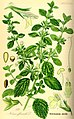 Melissa officinalis (lemon balm).jpg