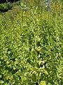 Melissa officinalis subsp. altissima 2018-07-09 4912.jpg