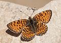 Melitaea collina - Hataylı İparhan 05.jpg