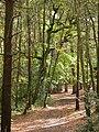 Merley, Delph Woods - geograph.org.uk - 1550970.jpg
