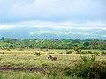 Meru zebra - panoramio.jpg
