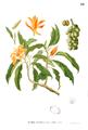 Michelia champaca Blanco1.191.png