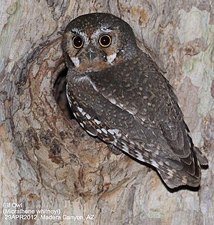 Elf owl - Elf owl (Micrathene whitneyi) 29APR12 Madera Canyon AZ