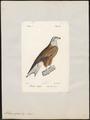 Milvus regalis - 1842-1848 - Print - Iconographia Zoologica - Special Collections University of Amsterdam - UBA01 IZ18200330.tif