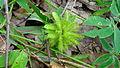 Mimosa sensitiva L. (6634150757).jpg