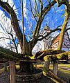 Mindestens 700 Jahre alt, die Dorflinde in Hollenbach. 2.jpg