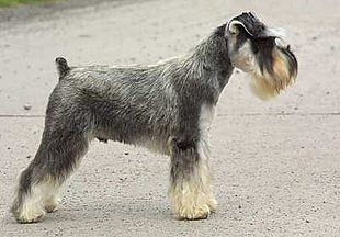 """Classic pose of a Miniature Schnauzer. This dog has a natural (stripped) salt and pepper coat, natural ears and <a href=""""http://search.lycos.com/web/?_z=0&q=%22Docking%20%28dog%29%22"""">docked tail</a>."""