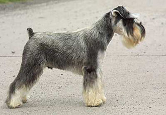 Miniature Schnauzer - Classic pose of a Miniature Schnauzer. This dog has a natural (striped) pepper and salt coat, natural ears and docked tail.