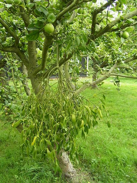 Mistletoe 1.jpg
