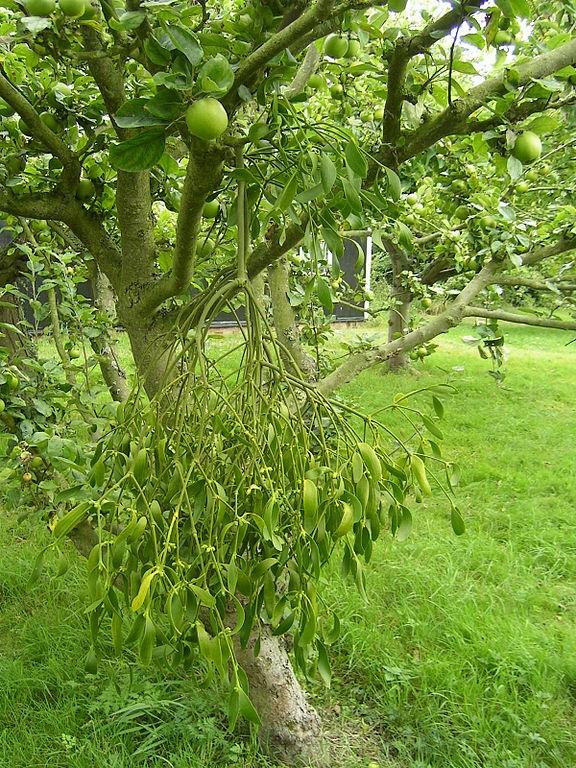 Imelo biele rastúce na jabloni