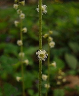 <i>Mitella diphylla</i> species of plant