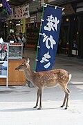 Пятнистый олень бродит по улицам города Миядзима, Япония