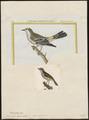 Mniotilta coronata - 1700-1880 - Print - Iconographia Zoologica - Special Collections University of Amsterdam - UBA01 IZ16300029.tif