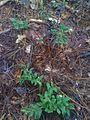 Mon plant de bleuets transplanté... (4731316064).jpg