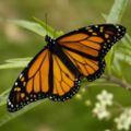 Monarch Butterfly 17-03-2006 6-44-40 p.m..JPG