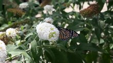 File:Monarch butterfly 1.webm