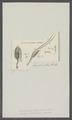 Monoculus longicornis - - Print - Iconographia Zoologica - Special Collections University of Amsterdam - UBAINV0274 100 01 0029.tif