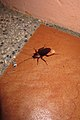Monster cockroach (5952648935).jpg