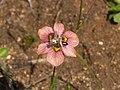 Moraea tricolor.jpg