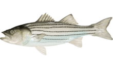 Striped bass by Inked Animal