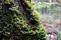 Mossy trees (15457905331).jpg