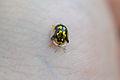 Mottled Tortoise Beetle (Deloyala guttata) (14523395915).jpg