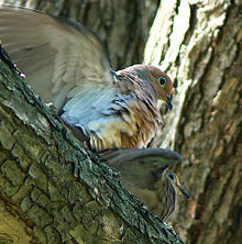 Two doves in a tree, male dove sitting on top of female, with wings flapping