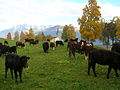 Mucche e il borgo di Saint-Nicolas.JPG