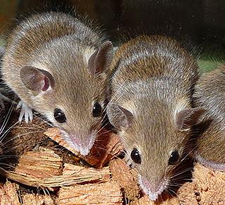 <i>Nannomys</i> subgenus of mammals