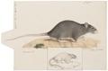 Mus rattus - 1700-1880 - Print - Iconographia Zoologica - Special Collections University of Amsterdam - UBA01 IZ20500071.tif