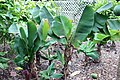 Musa acuminata Super Dwarf 3zz.jpg