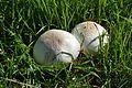 Mushrooms, Reed College.JPG