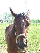 Muso di cavallo (horse head) .jpg