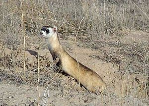 English: Black-footed ferret (Mustela nigripes...