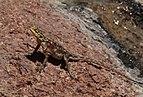 Namib rock agama (Agama planiceps) female.jpg