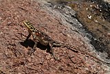 Namib rock agama (Agama planiceps) female.jpg