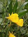 Narcissus bulbocodium RHu.JPG