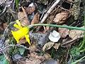 Narcissus munozii-garmendiae Flower2 180109 SierraMadrona.jpg