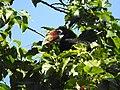 Narcondam Hornbill DSCN1242 06.jpg