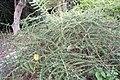 Nashia inaguensis 7zz.jpg