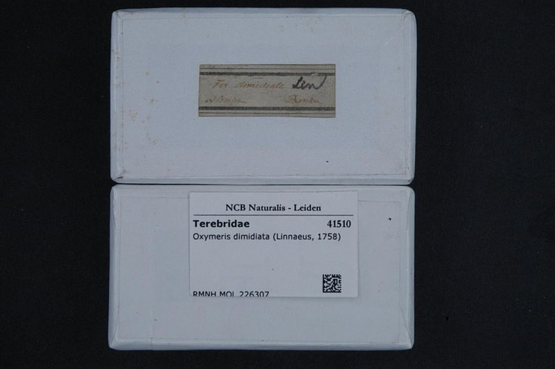 File:Naturalis Biodiversity Center - RMNH.MOL.226307 1 - Oxymeris dimidiata (Linnaeus, 1758) - Terebridae - Mollusc shell.jpeg