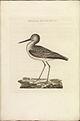 Nederlandsche vogelen (KB) - Tringa nebularia (318b).jpg