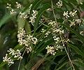 Neem (Azadirachta indica) in Hyderabad W IMG 6977.jpg