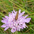 Nemophora scabiosella . Adelidae - Flickr - gailhampshire.jpg