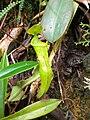 Nepenthes Mount Hamiguitan Range2.jpg
