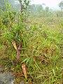 Nepenthes bokorensis habitat.jpg